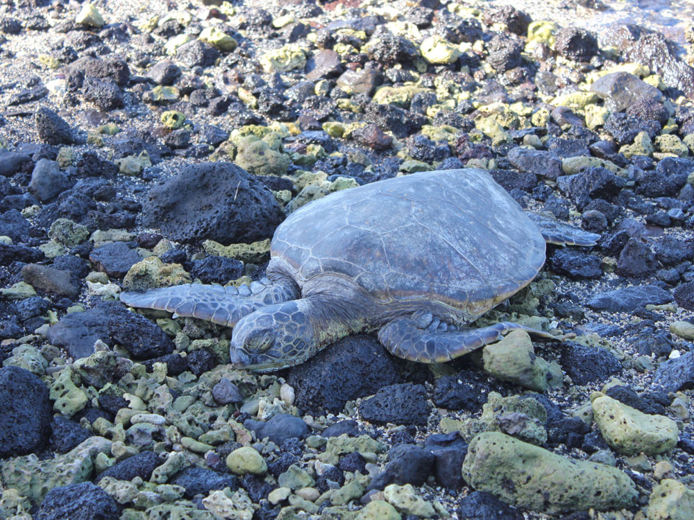 Sleepy Turtle or Honu Hawaii