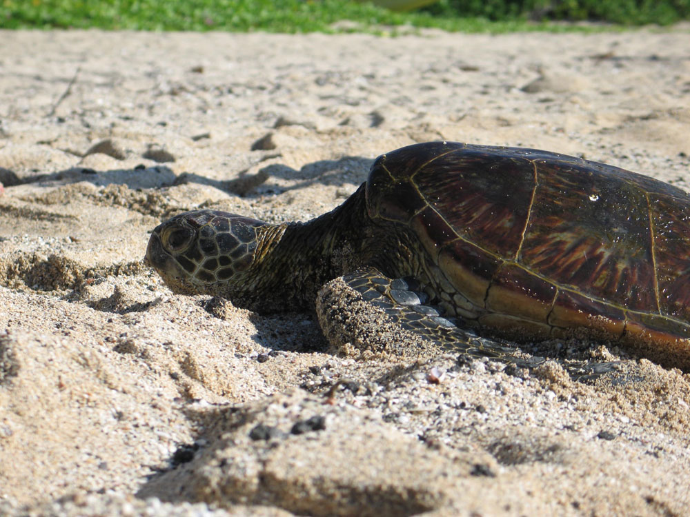 Turtle on Beach Hawaii